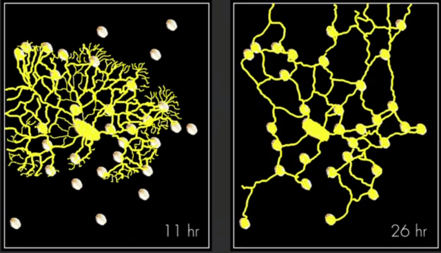 Slime mold adaptive network evolves